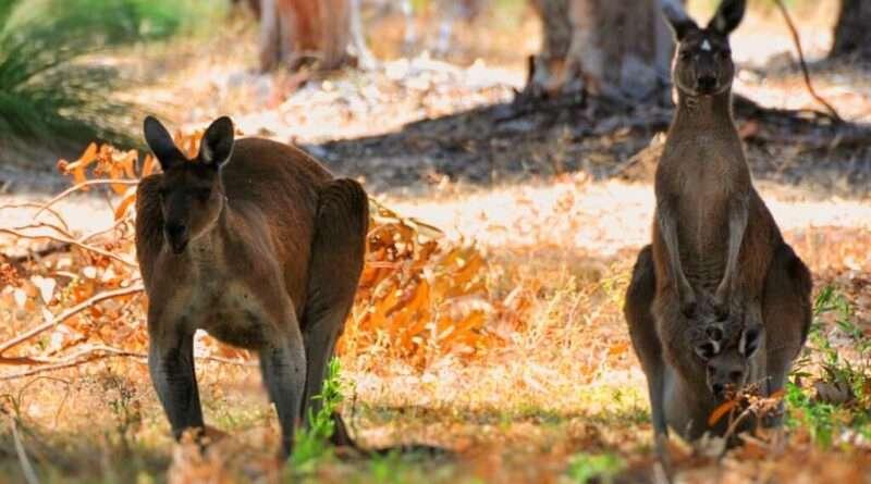 Kangaroos Margaret River